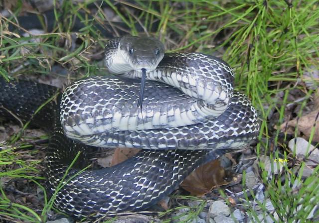 Gray Rat Snake | Flickr - Photo Sharing!