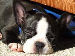 boston terrier(0.0), bulldog(0.0), dog breed(1.0), animal(1.0), puppy(1.0), dog(1.0), pet(1.0), french bulldog(1.0), carnivoran(1.0),