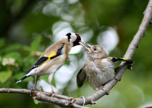 Baby Birdorable: European Goldfinch in Baby Birds, Finches ...