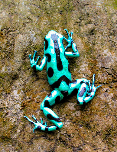 Green Poison Arrow tree Frog | Flickr - Photo Sharing! Are Green Frogs Poisonous