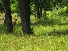 mother deer and baby