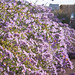 Small photo of Michaelmas Daisies