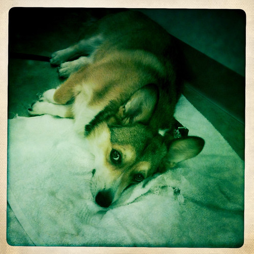 163/365: Owen the Corgi