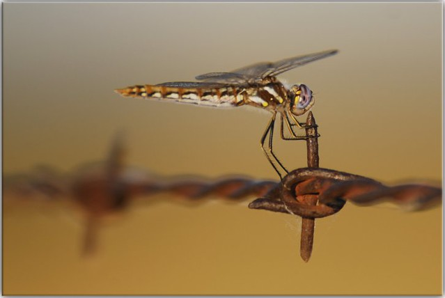 Dragonfly Suicide