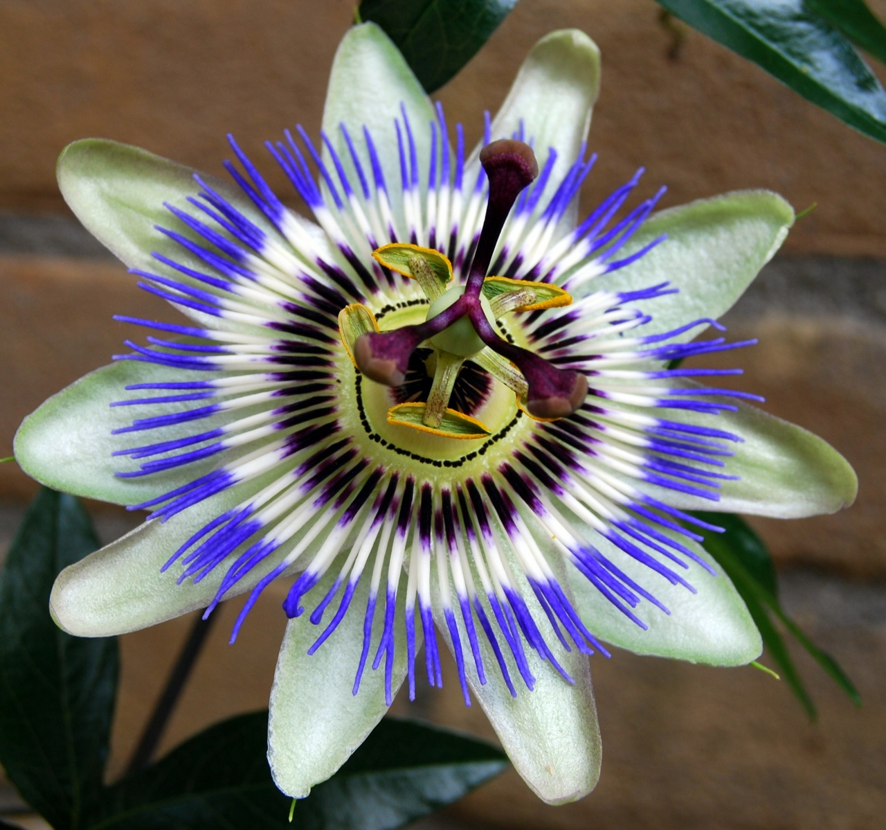 Passion Fruit Flower a photo on Flickriver