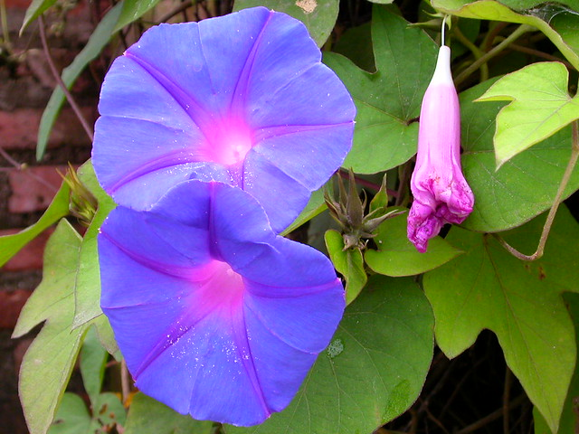 Morning Glory 2