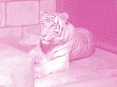 white tigers 2 SGK