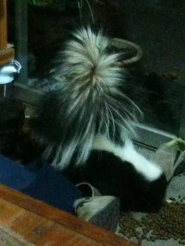 スカンク登場。ネコの餌をお勝手に置いておいたら、スカンクが食べに来た。近寄るとお尻を上げてこちらに向ける。やめてー!家が使えなくなるよ。