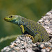 Ocellated Lizard - Photo (c) Martin Rey, some rights reserved (CC BY-NC-ND)