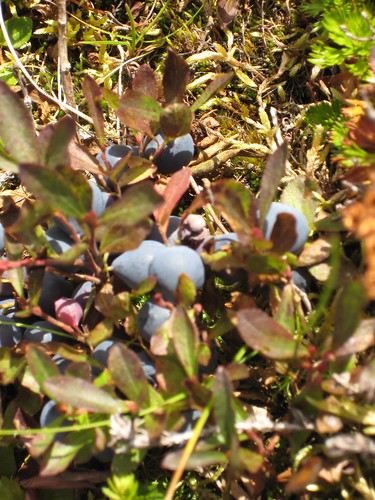 Blueberries before picking