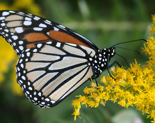 Monarch, Danaus plexippus on goldenrod