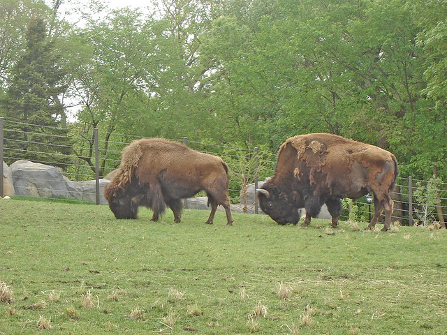 Buffalo/ Bison ~ 2 of 4 photos