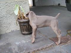 terrier(0.0), animal(1.0), dog(1.0), weimaraner(1.0), carnivoran(1.0),