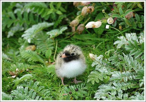 Baby Birdorable: Arctic Tern in Baby Birds, Terns