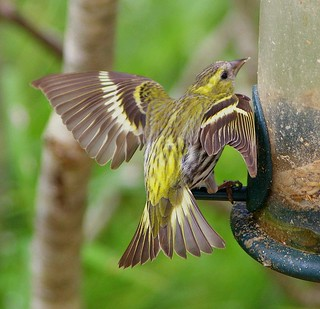 Pentax K100D.55-300mm Lens.A Siskin Threat Pose.June 24th 2010.