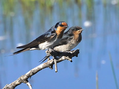Welcome Swallow - Photo (c) David Cook, some rights reserved (CC BY-NC)