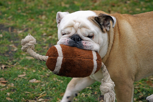 No fumble bulldog