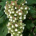 oakleaf hydrangea (カシワアジサイ) #7012