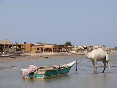 Camel at Nuweiba