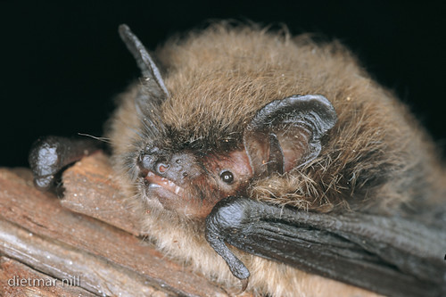 003372Kleine Bartfledermaus Portrait, Myotis mystacinus, whiskered bat, vespertilion a moustaches