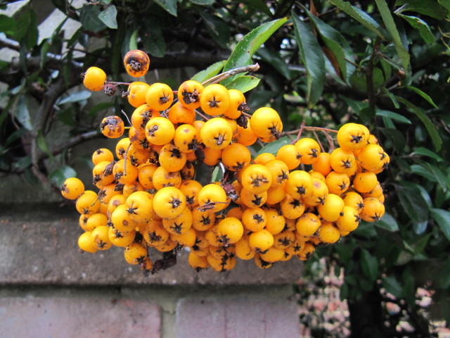Yellow Pyracantha