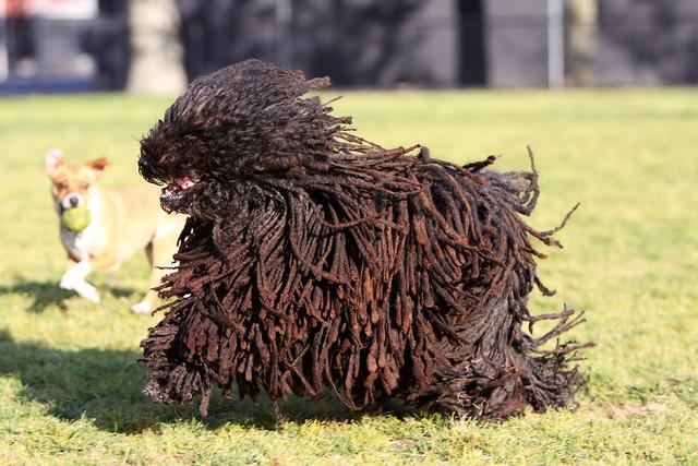 Пули, или венгерская пастушья водяная собака, фото породы собак