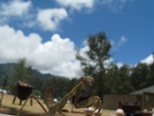 Praying Mantis 4