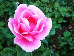Rose 玫瑰