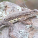 Elegant Earless Lizard - Photo (c) Jerry Oldenettel, some rights reserved (CC BY-NC-SA)
