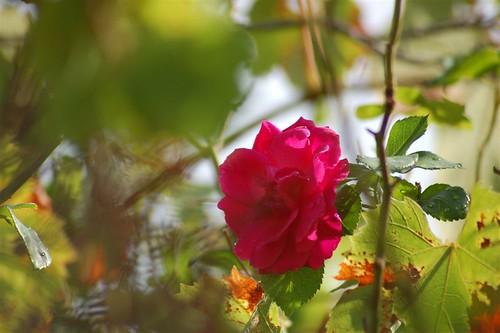 Roseira 'Brava'