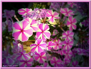 a purple beauty (Phlox paniculata)
