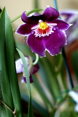kitchen orchid    MG 1786