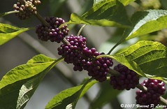 blackberry(0.0), shrub(0.0), flower(0.0), red mulberry(0.0), plant(0.0), chokecherry(0.0), produce(0.0), food(0.0), schisandra(0.0), evergreen(1.0), berry(1.0), branch(1.0), leaf(1.0), lilac(1.0), flora(1.0), chokeberry(1.0), fruit(1.0),