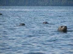 animal, marine mammal, arctic, sea, mustelidae, sea otter, wildlife,