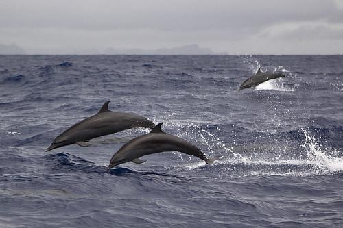 海豚躍出水面,此處距離帛琉人口最稠密的島嶼Koror僅24.1公里,圖片右上方隱約可見Koror島。圖片節錄自:Brian Glass Photography相本。