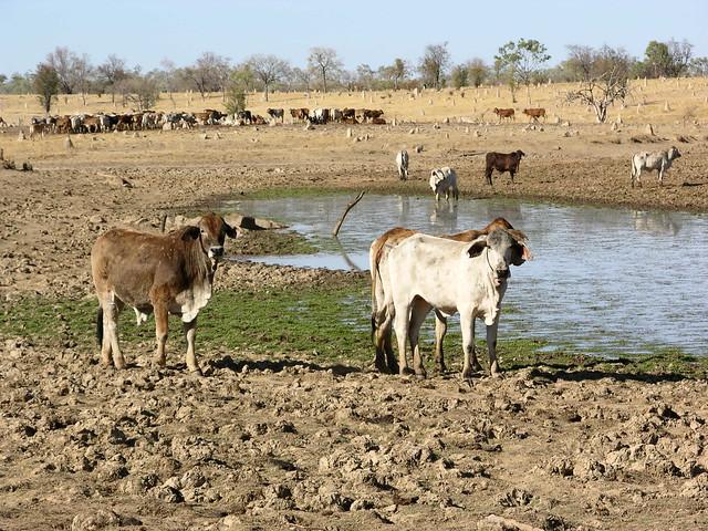 George Town Australia  city photos gallery : Australia, Queensland,, Georgetown, Brahman Cattle.   Flickr Photo ...