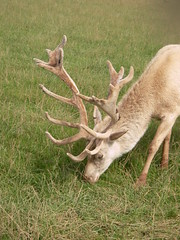 animal, antler, deer, fauna, white-tailed deer, elk, wildlife, reindeer,