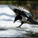 Magpie landing by Dan Harrod
