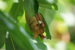 蝙蝠因媒體渲染而有不同面貌,真實世界的蝙蝠卻無家可歸。圖為金黃鼠耳蝠。(攝影:張恒嘉)