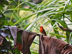 Red fody in the Masoala