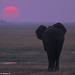05400-22901 African Elephant walking towards setting sun