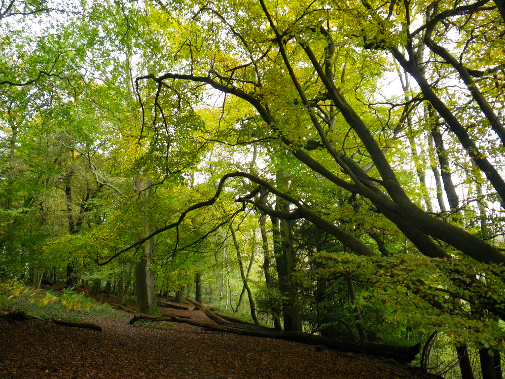 Beech on the North Downs Way 1