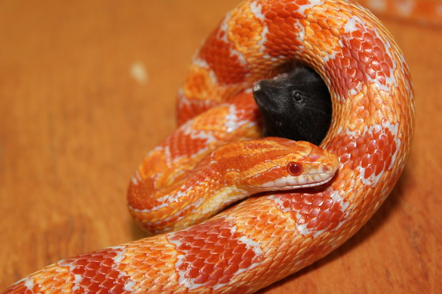 Red Albino Corn Snake | Flickr - Photo Sharing!