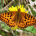 Small photo of Dark Green Fritillary - Argynnis aglaja