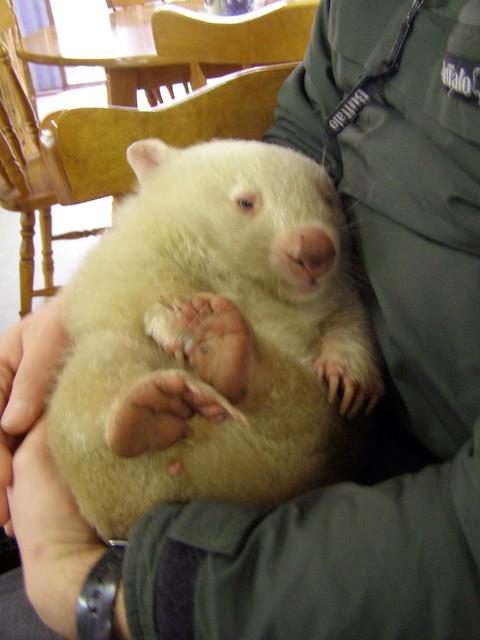 Albino wombat - photo#27