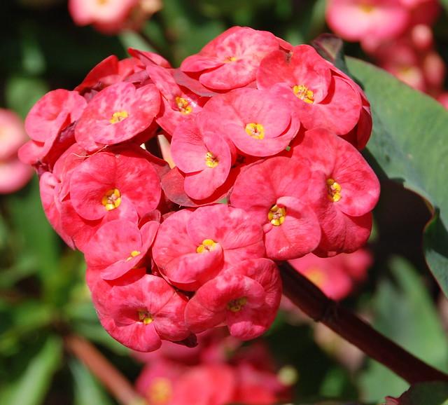 Grandiflora Euphorbia milii hybrid
