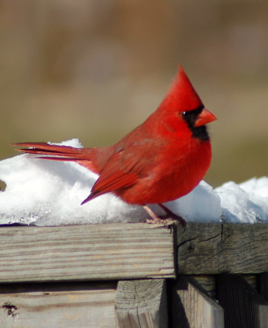 cardinal in winter   Flickr - Photo Sharing!