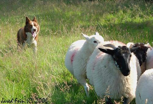 ireland dog sheep donegal irishdogs ilovemypics sewerdoc ©jaredfein