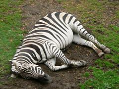 A zebra at Portland zoo