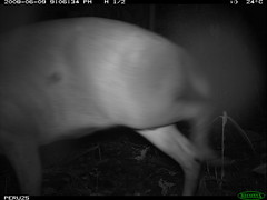 Brocket Deer sp.